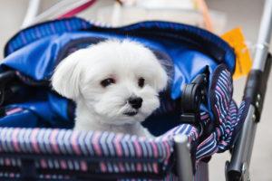 hundebuggy im Einsatz mit einem kleinen Hund